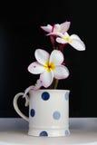 Plumeria encantador hermoso de la flor blanca del aislante Fotografía de archivo libre de regalías