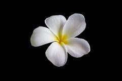 Plumeria encantador hermoso de la flor blanca del aislante Foto de archivo