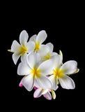 Plumeria encantador hermoso de la flor blanca del aislante Foto de archivo libre de regalías