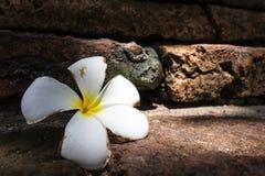 Plumeria fall on the ground Stock Photo
