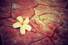 Plumeria falled on floor after rain Stock Photo