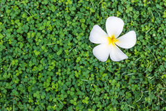 Plumeria falling on the grass Stock Images