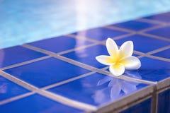 Plumeria, fleur blanche à la piscine photographie stock