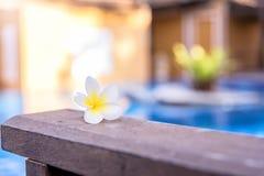 Plumeria, fleur blanche sur la terrasse en bois à la piscine photographie stock