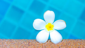 Plumeria floating in blue water Stock Images