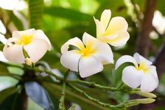 Plumeria, flores brancas do Frangipani Foto de Stock Royalty Free