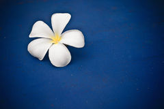 Plumeria flower. A single plumeria flower on blue Royalty Free Stock Photos