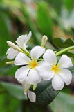 Plumeria flower Stock Photography
