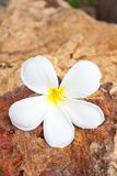 Plumeria flower Royalty Free Stock Photo