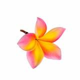 Plumeria flower. Isolated on white background Royalty Free Stock Photo