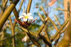 Plumeria flower against blue sky Stock Photos