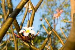 Plumeria flower against blue sky Royalty Free Stock Photo