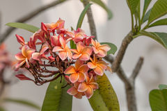 Plumeria Flower. Also known as Pagoda tree or Temple tree, usually found in Thailand Temples and houses Stock Photo
