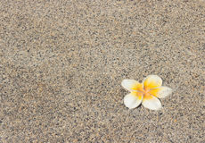 Plumeria flower on a background Stock Photography