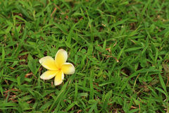 Plumeria flower on a background of grass. Plumeria flower on a background of grass Royalty Free Stock Photography