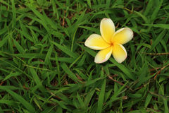 Plumeria flower on a background of grass. Plumeria flower on a background of grass Royalty Free Stock Photos