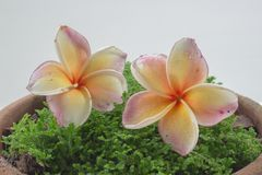 Plumeria flower. On background of mos Stock Photography