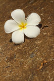 Plumeria flower on a background of rocks. Stock Photography