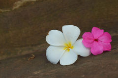 Plumeria flower on a background of rocks. Royalty Free Stock Photography