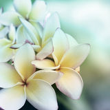 Plumeria flower background. A unique Plumeri flower in Bali Stock Image