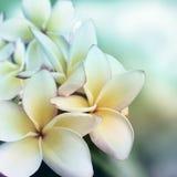 Plumeria flower background Stock Image