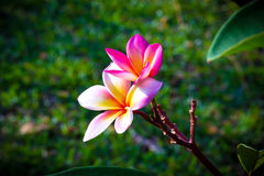 Plumeria Flower. Beautiful Plumeria Flower In The Garden Royalty Free Stock Photography
