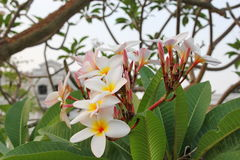 Plumeria. Flower is birth place in South America Royalty Free Stock Photos