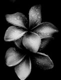 Plumeria flower. Black and White Plumeria in garden after the rain Royalty Free Stock Photos