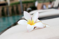 Plumeria flower and blue swimming pool rippled water detail Stock Photos