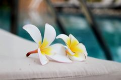 Plumeria flower and blue swimming pool rippled water detail Stock Images