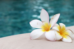 Plumeria flower and blue swimming pool rippled water detail Royalty Free Stock Photo