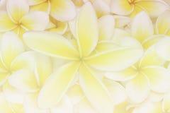 Plumeria flower blur background Royalty Free Stock Photo