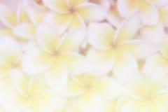 Plumeria flower blur background Stock Image