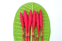 Plumeria flower buds red Stock Images