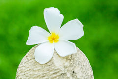 Plumeria flower in chiangmai Thailand Stock Photos