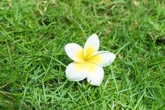 Plumeria flower Stock Images