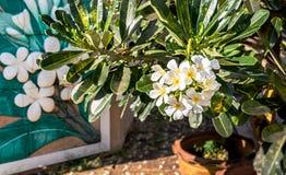 Plumeria flower color white stock image