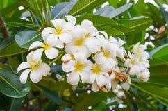 Plumeria flower decoration Stock Photo