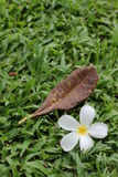 Plumeria flower Stock Photography