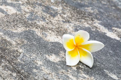 Plumeria flower fall on the dark rock Royalty Free Stock Photo