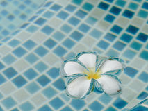Plumeria flower floating on the swimming pool Royalty Free Stock Image