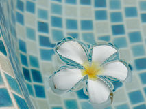 Plumeria flower floating on the swimming pool Royalty Free Stock Photography