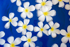 Plumeria flower Stock Photo