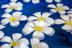 Plumeria flower floating on water Royalty Free Stock Image