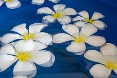 Plumeria flower floating on water Stock Photo