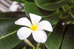 Plumeria flower. S, nature background Stock Images