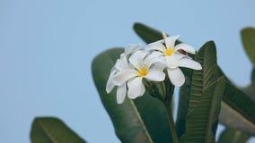 Plumeria flower stock footage