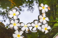 Plumeria flower (Frangipani) floating on the surface of the water Royalty Free Stock Images