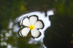 Plumeria flower (Frangipani) floating on the surface of the water Royalty Free Stock Photography