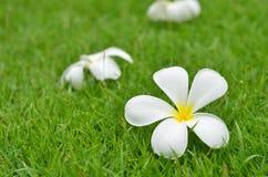 Plumeria flower. Plumeria (frangipani) flowers on the grass background Stock Images
